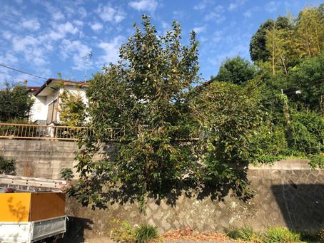 令和3年10月12日 柿の木の伐採