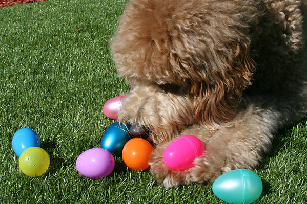 Goldendoodle Playing with Easter Eggs.jp