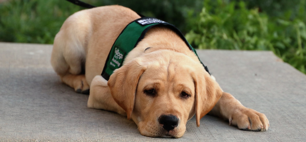 Young yellow lab puppy lays on a concrete step with green plants behind him