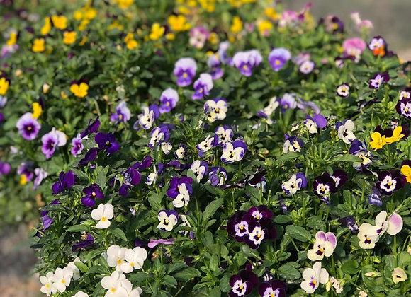 Flores Comestibles Mix