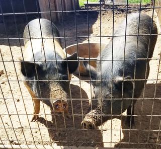 Elvis & Priscilla Pigsley