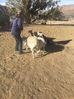 herding 2