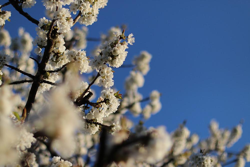 Cherry Blossom by einSteinLyon