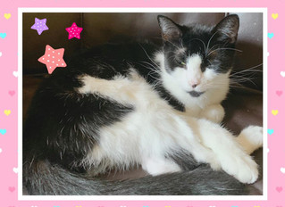 Sweet Meatball is an Affectionate Young Kitty Who Has Been Waiting too Long For A Home to Call Her O