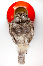 Barred Owl (Red Straight)