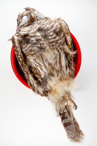 Barred Owl (Red Diagonal)