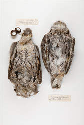 Eastern Screech Owls (Down Up)