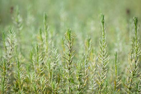bulk dried herbs wholesale foodguys.jpg