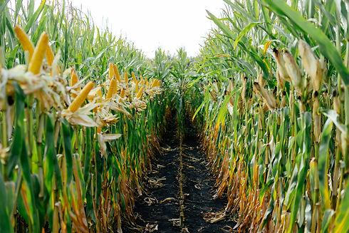 bulk corn oil supplier.jpg