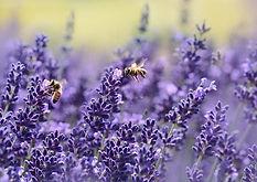 lavender-1537694_640.jpg