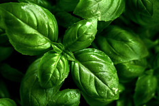 closeup-of-tasty-beautiful-basil-selecti