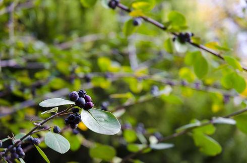 bulk huckleberries supplier foodguys.jpg