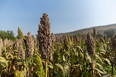 close-up-planting-millet-farm-is-beautif