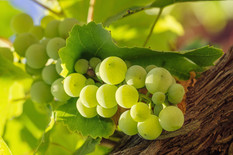 bunch-white-grape-with-leafs-background.
