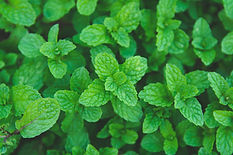green-peppermint-leaves-background-flat-