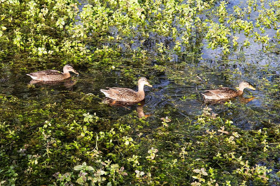 ducks_willow_ponds_original.jpg
