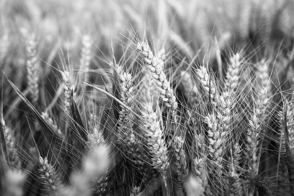 wheat_3_bw_original.jpg