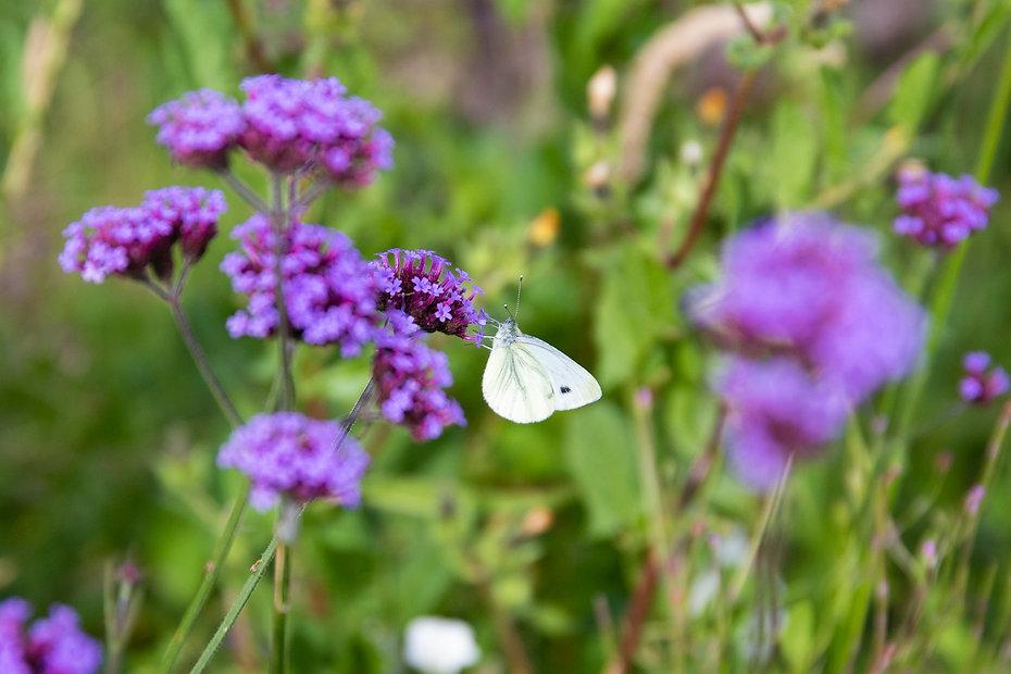 butterfly_allotments_original.jpg