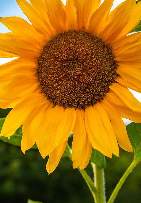 sunflower_on_allotments_original_edited.jpg