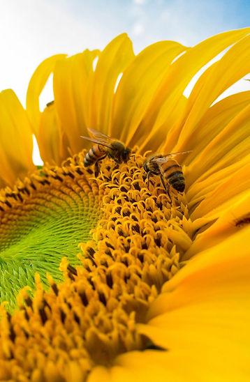 abeille_bioxegy_biomim%C3%A9tisme_pollen