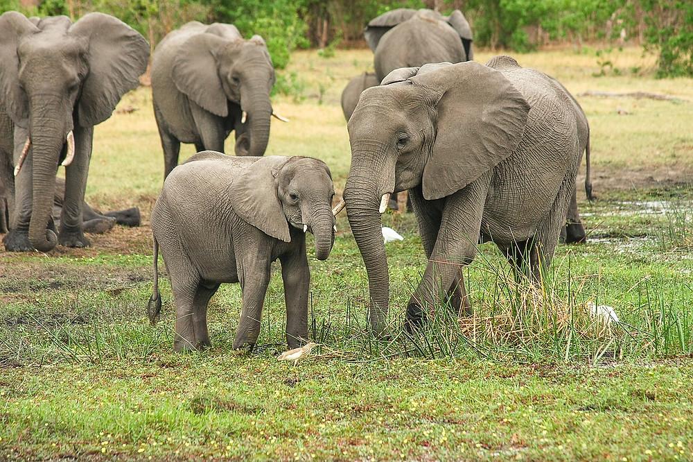 Les éléphants sont de véritables capteurs d'ondes sismiques, celles-ci leur permettent de communiquer entre des groupes éloignés de plusieurs kilomètres.