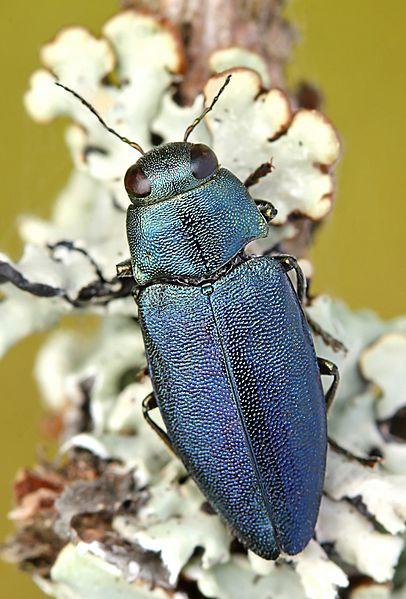 Légende : Le scarabée pyrophile qui a inspiré ce capteur : Phaenops cyanea.