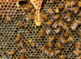 Abeille_Bioxegy_Biomimétisme_bis.jpg