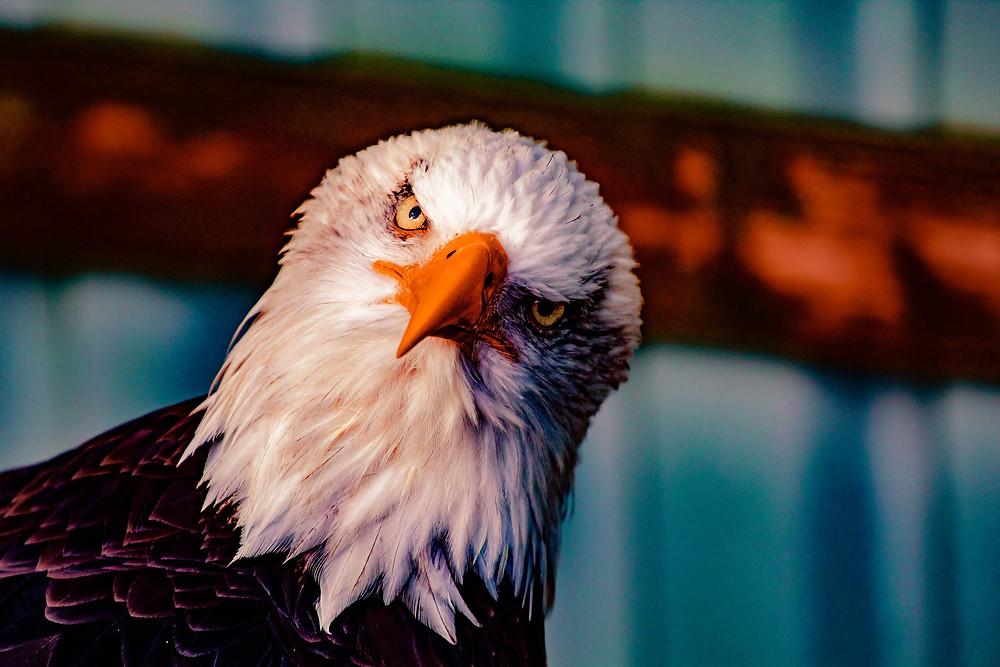 Biomimétisme espèces d'aigle Bioxegy