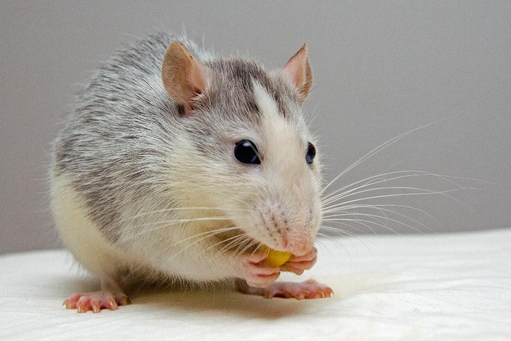 La moustache de la souris - biomimétisme - Bioxegy