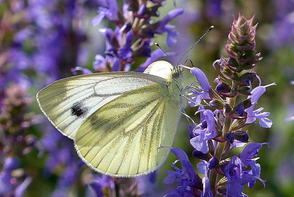 La piéride de la rave, dont les ailes blanches et noires ont inspiré ce capteur de saccharose