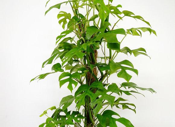 "Rhaphidophor Tetrasperma ""Monstera Minima"" (fam. Araceae)"