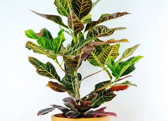 Croton Excellent (fam. Euphorbiaceae)