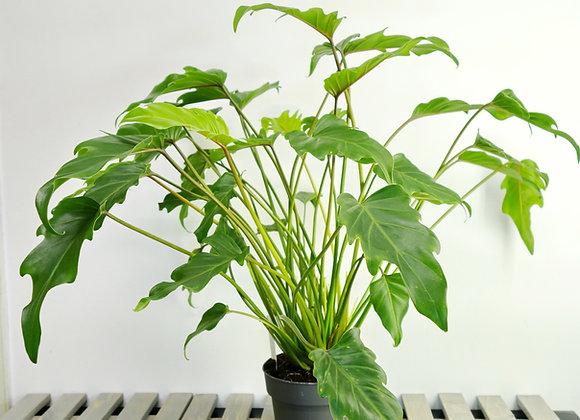 Philodendron Xanadu (fam. Araceae)