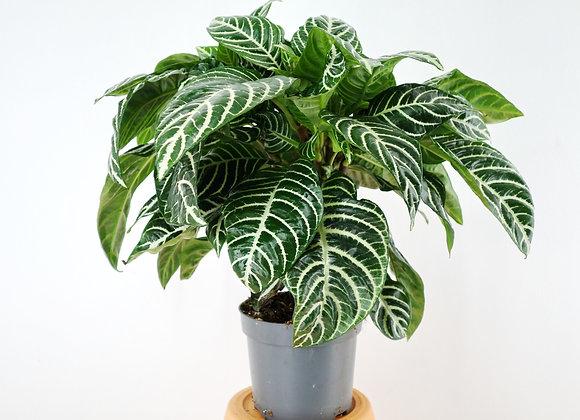 Aphelandra (fam. Acantaceae)