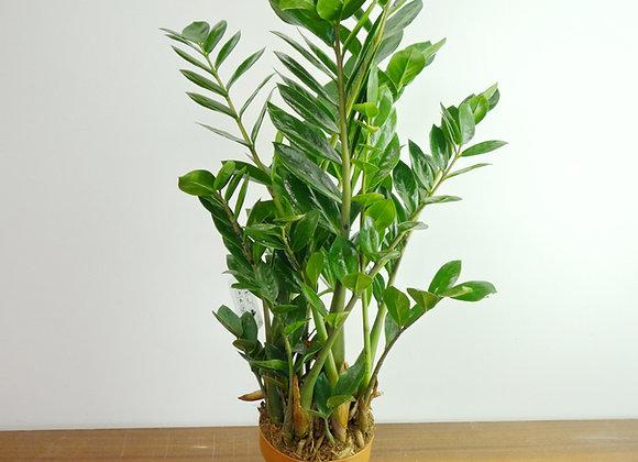 Zamioculcas zamiifolia (Fam.Araceae)
