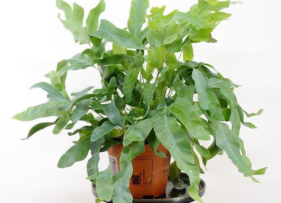 Phlebodium Aureum (fam Polypodiaceae)
