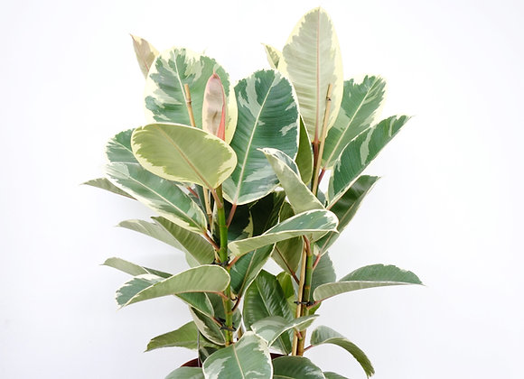 """Ficus Robusta """"Gum Plant"""" (fam. Moraceae)"""
