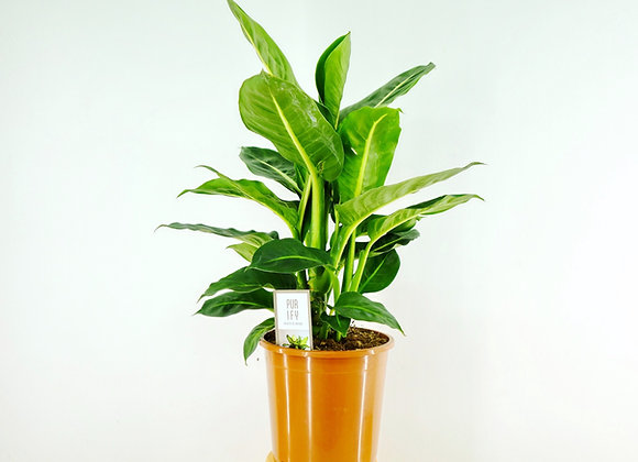 Dieffenbachia-Camila Compacta (fam.Araceae)