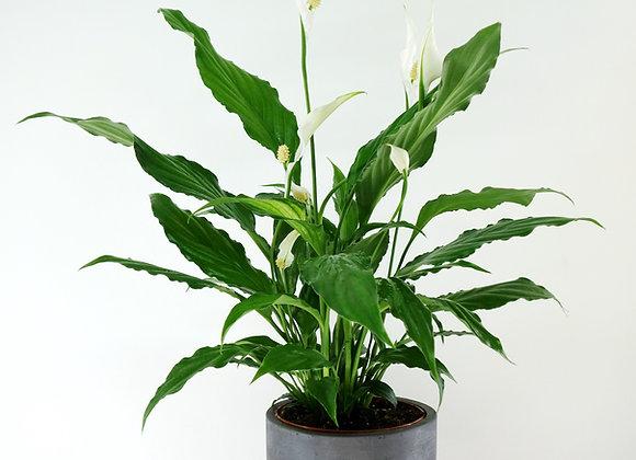 Spathiphyllum Grande (fam.Araceae)