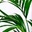 Thumbnail: Kentia Howea   (fam.araceae)
