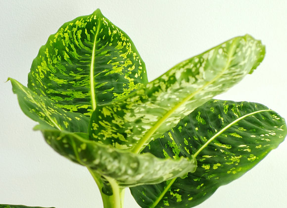 Dieffenbachia reflector (Fam. Araceae)