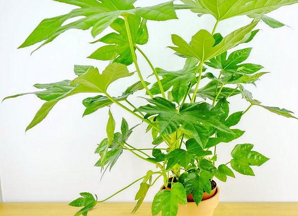 Fatsia Japonica-Aralia (fam. Araliaceae)