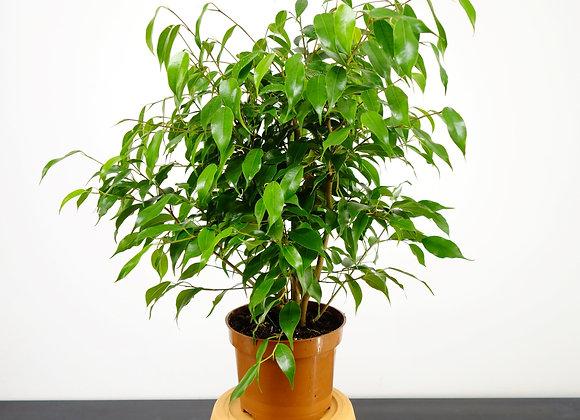 Ficus Benjamin Kinky (fam. Moraceae)