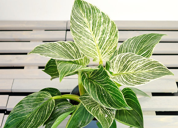Philodendron White Measure (fam. Araceae)