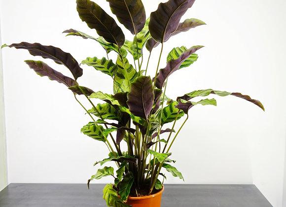 Calathea Makoyana (fam Marantaceae)