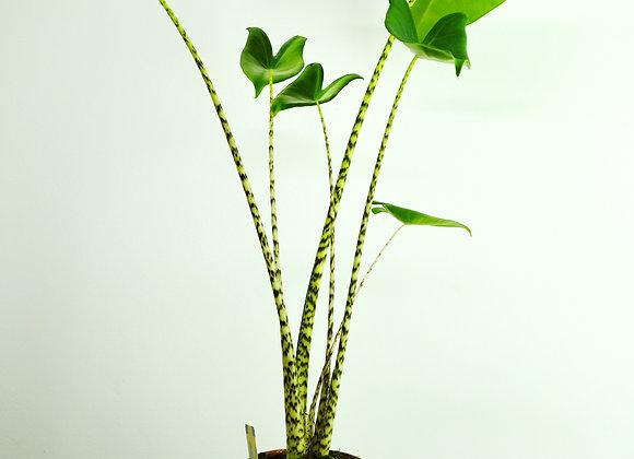 Alocasia Zebrina (fam. Araceae)