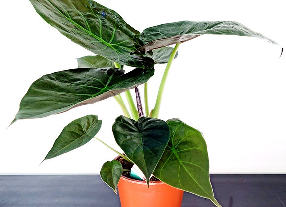 Alocasia Macrorrhizos (fam. Araceae)