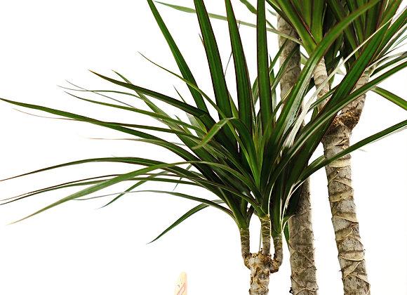 Dracaena (fam. Asparagaceae)