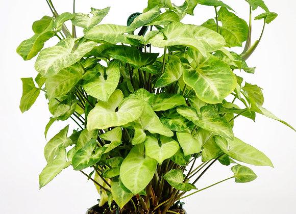 Syngonium Pixie Basket (fam Araceae)