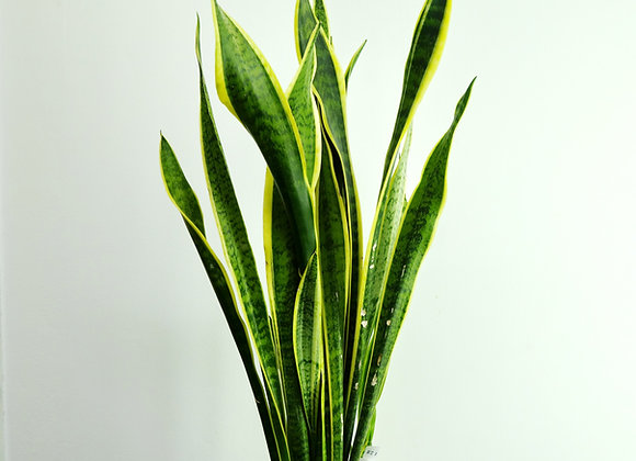 Sansevieria (fam. Agavaceae)
